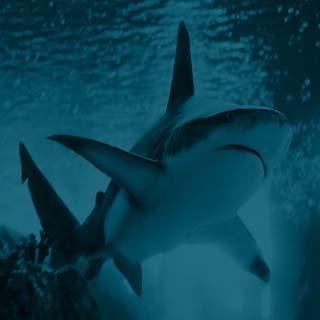 Bidt af hajer i Himmelfarts- ferien!