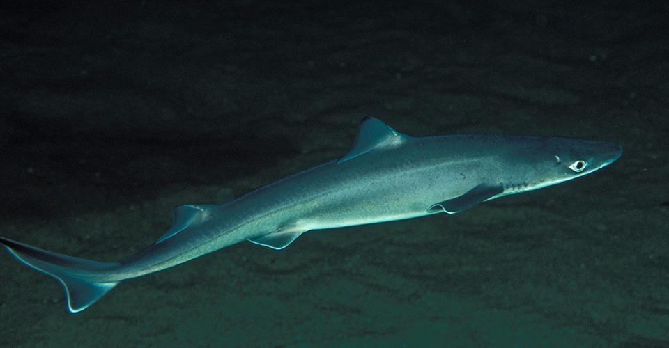 formering af hajer